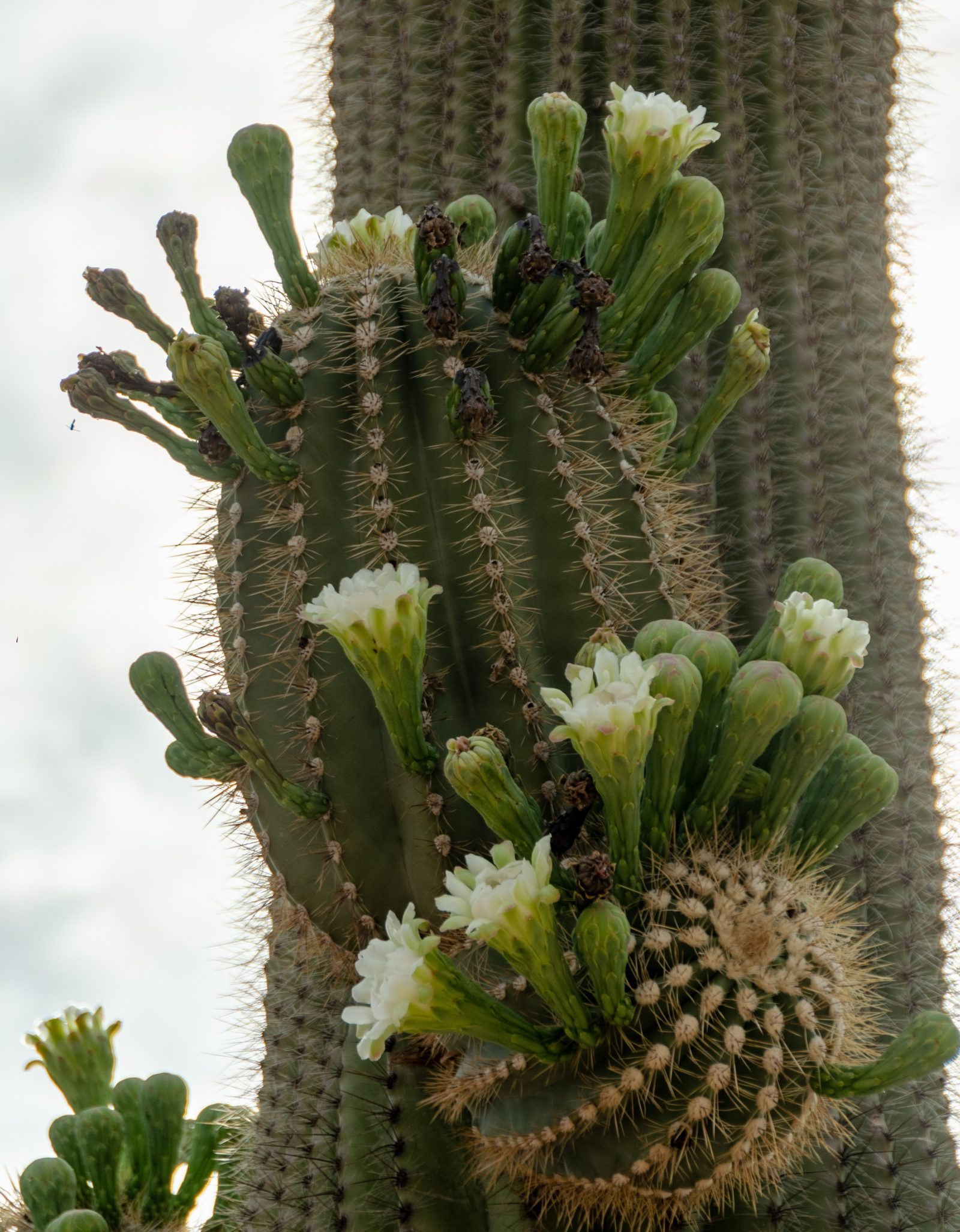 Saguaro buds and blooms