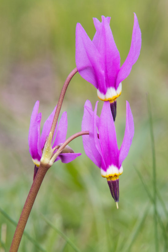 Alpine Shooting Star