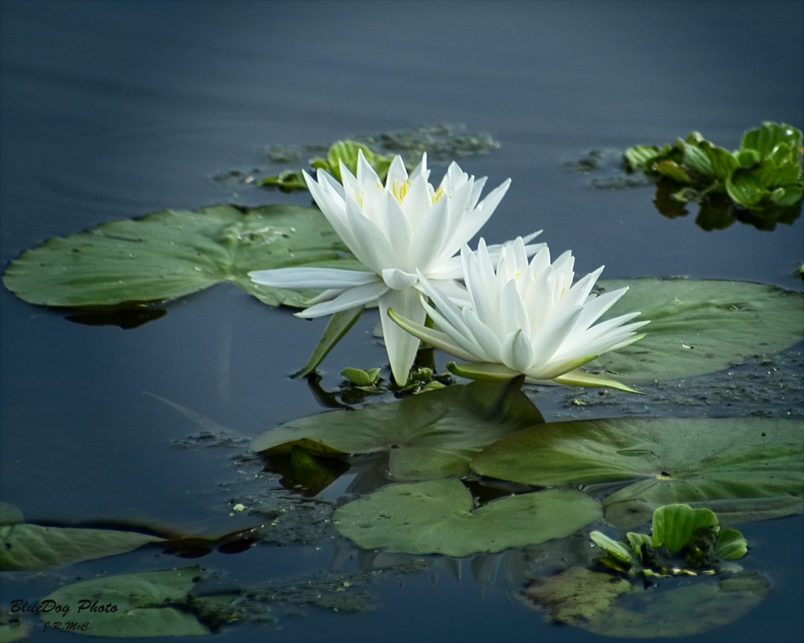 Fragrant water lily.