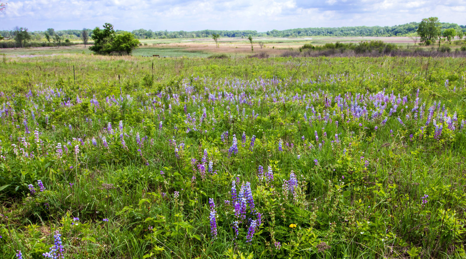 Wild Lupines in a Meadow