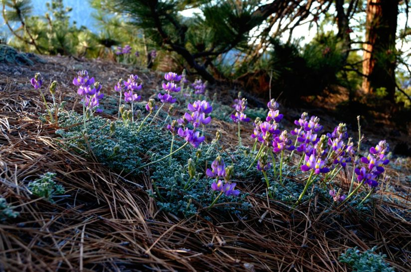 Lupine Morning
