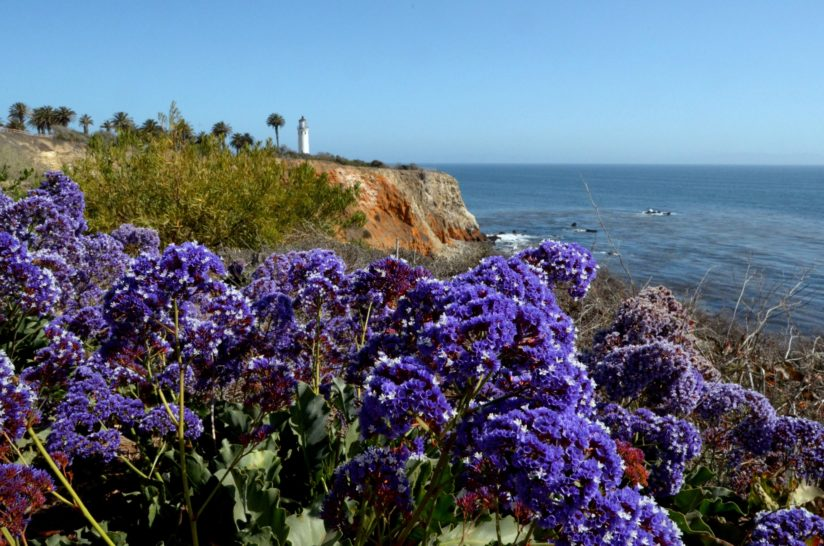 Limonium and Lighthouse