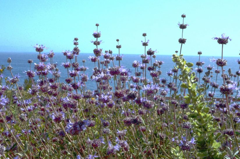 The Salvia And The Sea