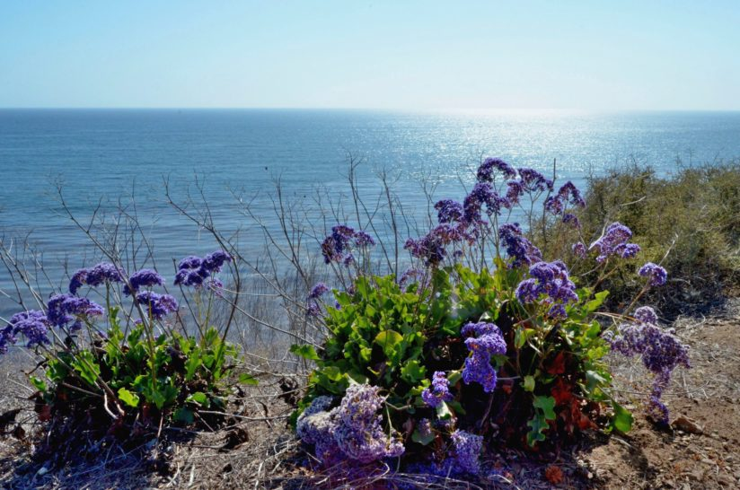 Limonium On The Sea-cliffs