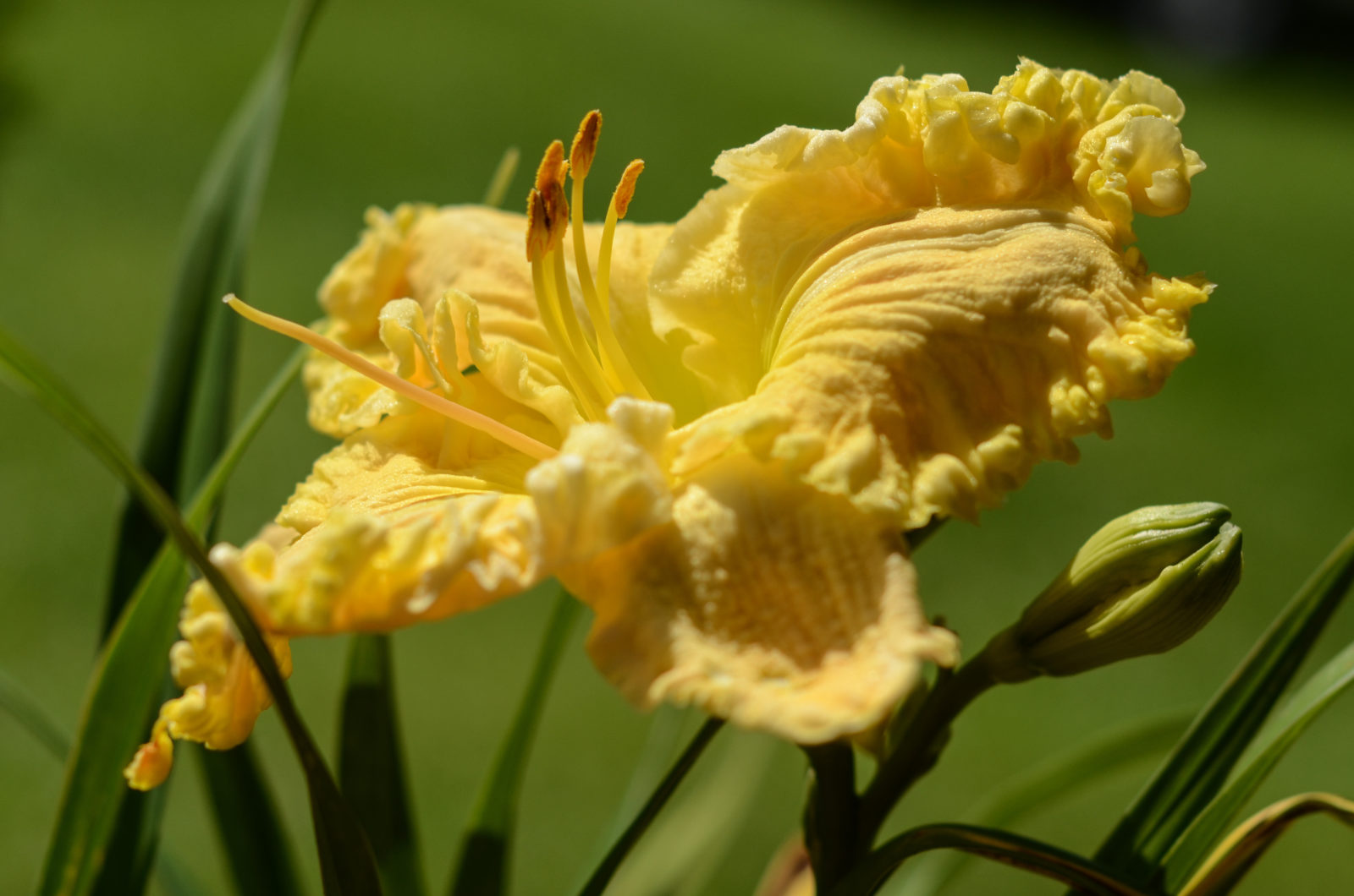 Amy's Seeing Double Day Lily
