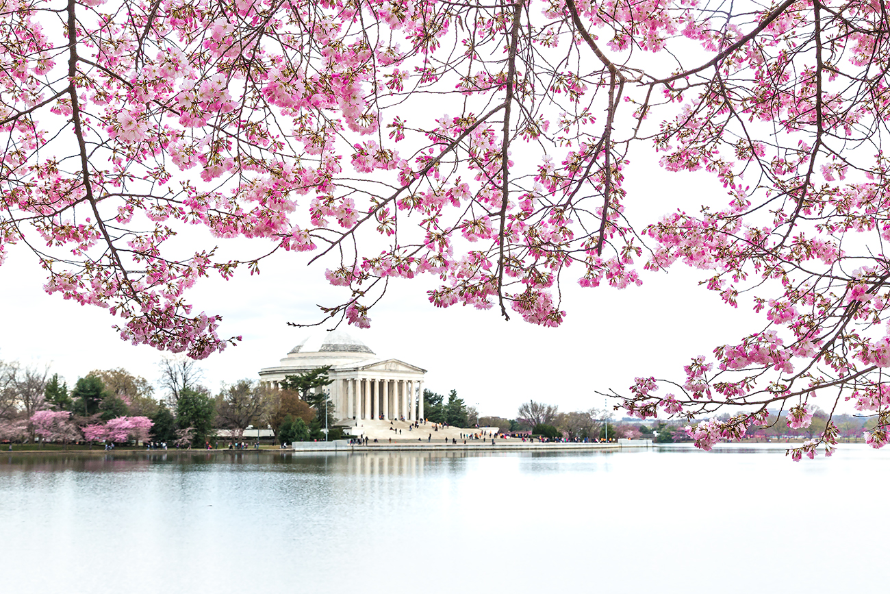 cherry blossom in dc