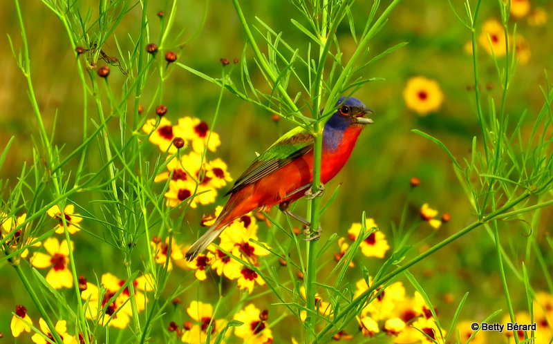 Blooming Painted Bunting