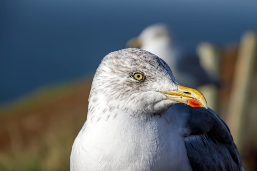 Sea Gull close-up and personal