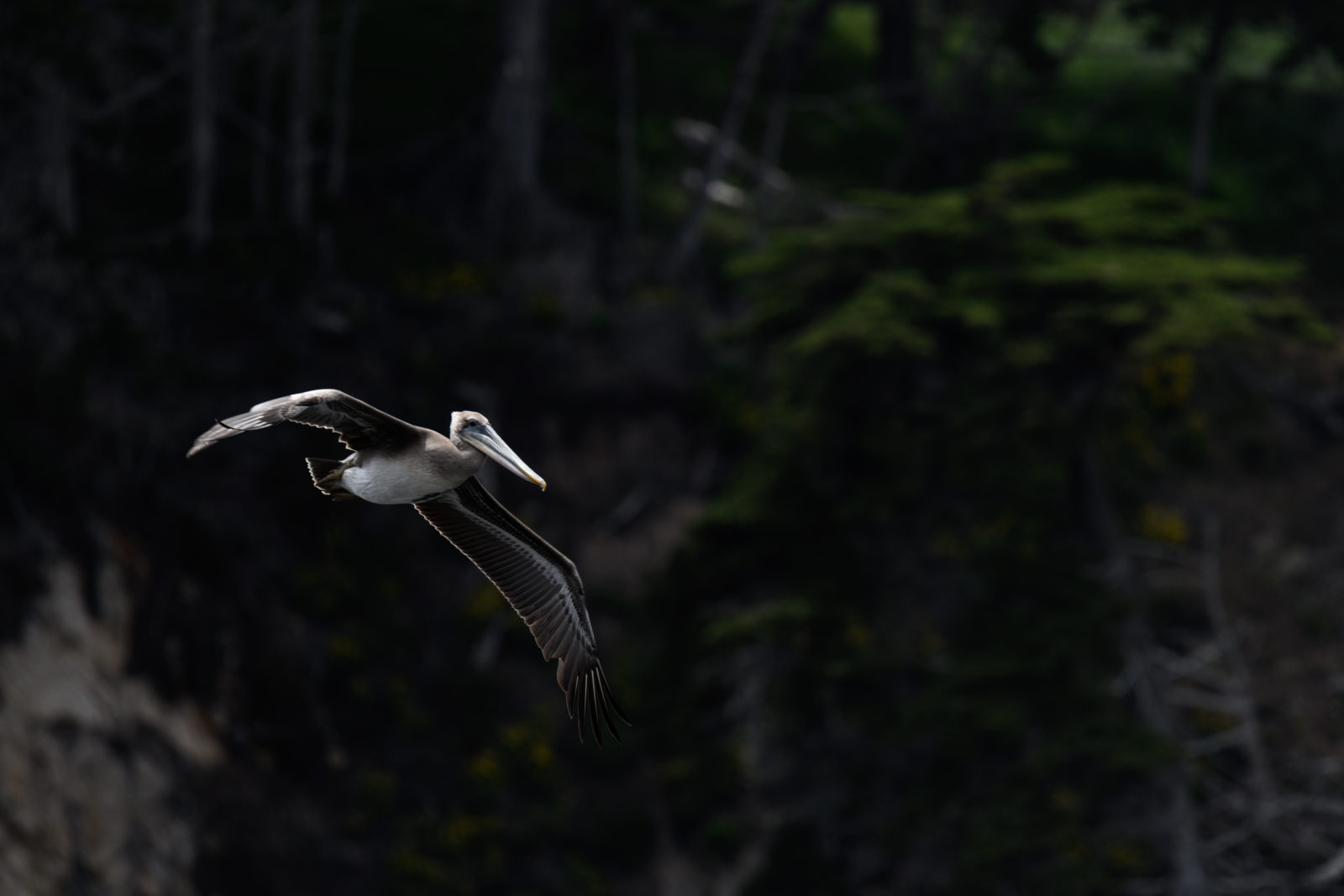 Brown Pelican at Point Lobos State Reserve