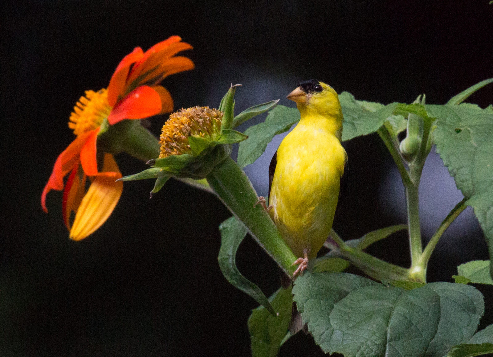 Goldfinch in Tithonia Flowers