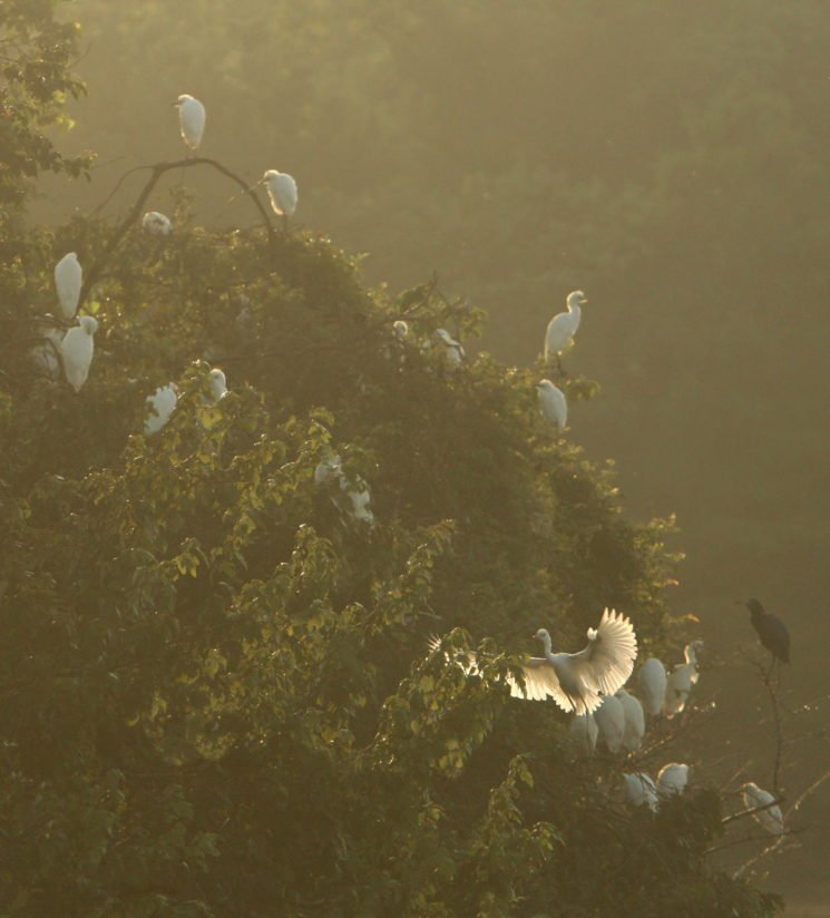 Misty Morning Rookery