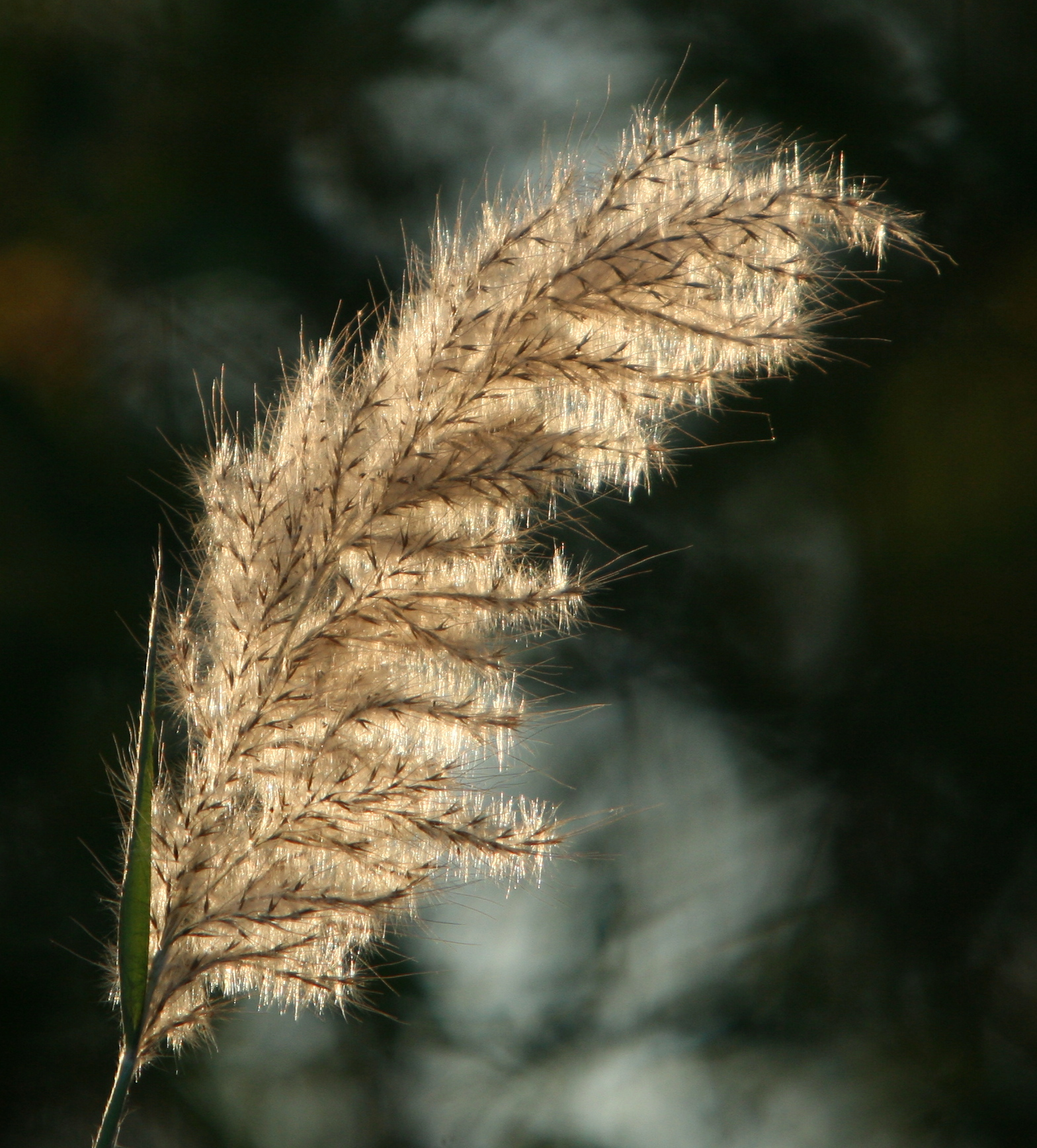 Plumegrass Gone to Seed
