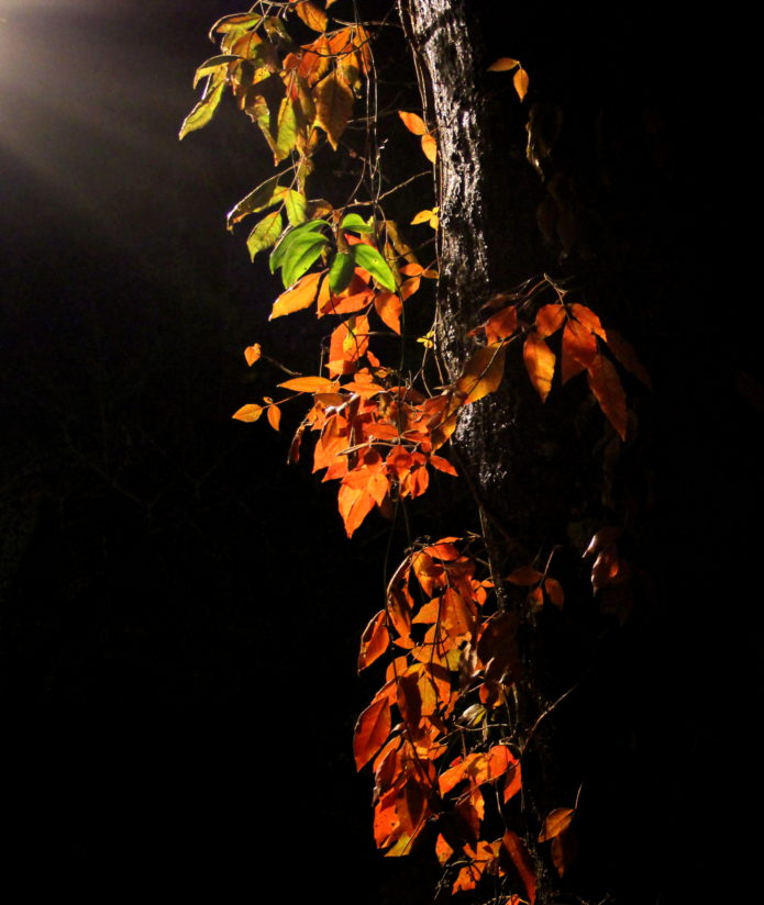 Poison Ivy at Night