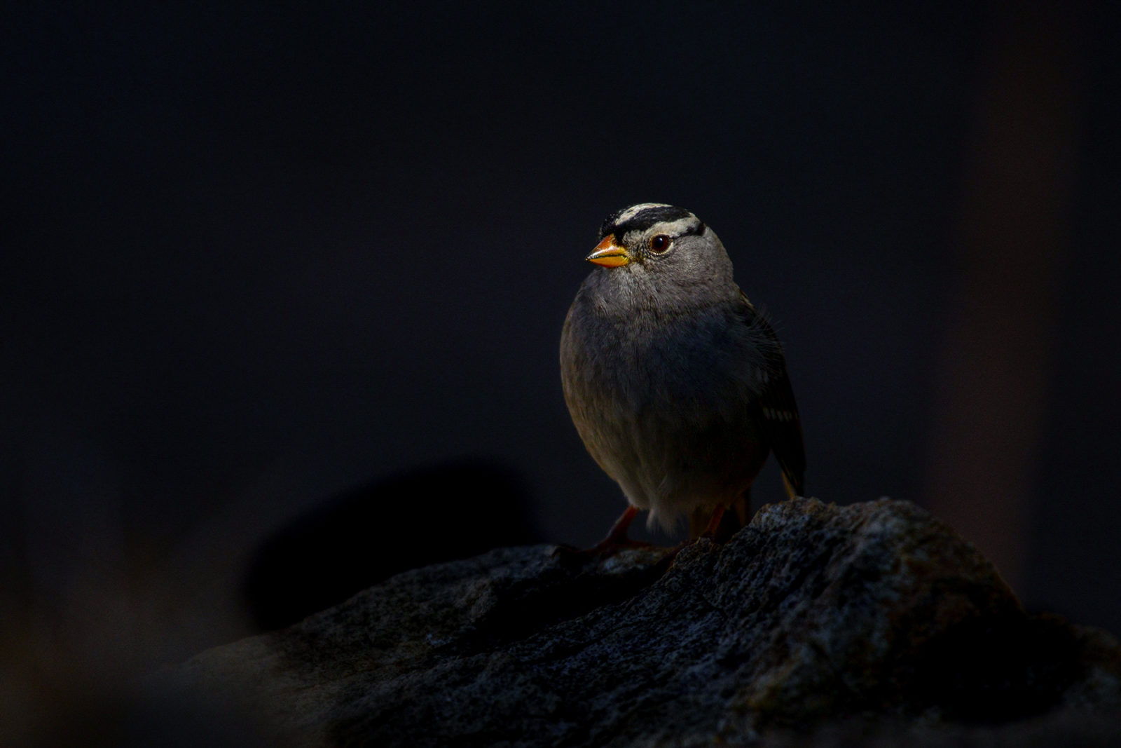 White-crowned Sparrow on A Rock