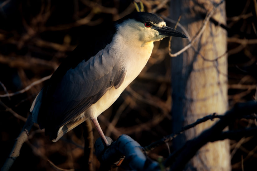 Black-Crowned Night Heron at City Park, Denver, CO