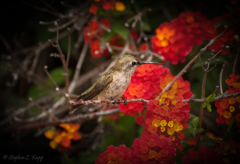 Anna's Hummingbird – Taking a Breather