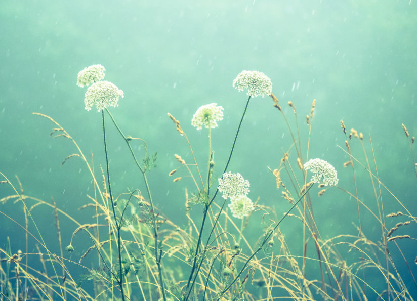Wildflowers in Rain and Mist