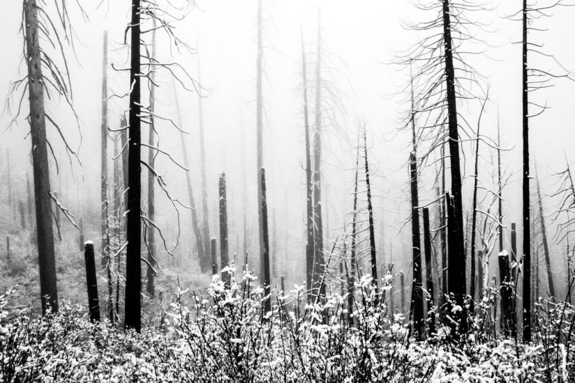 Remnants of a Burnt Forest in Snow and Fog