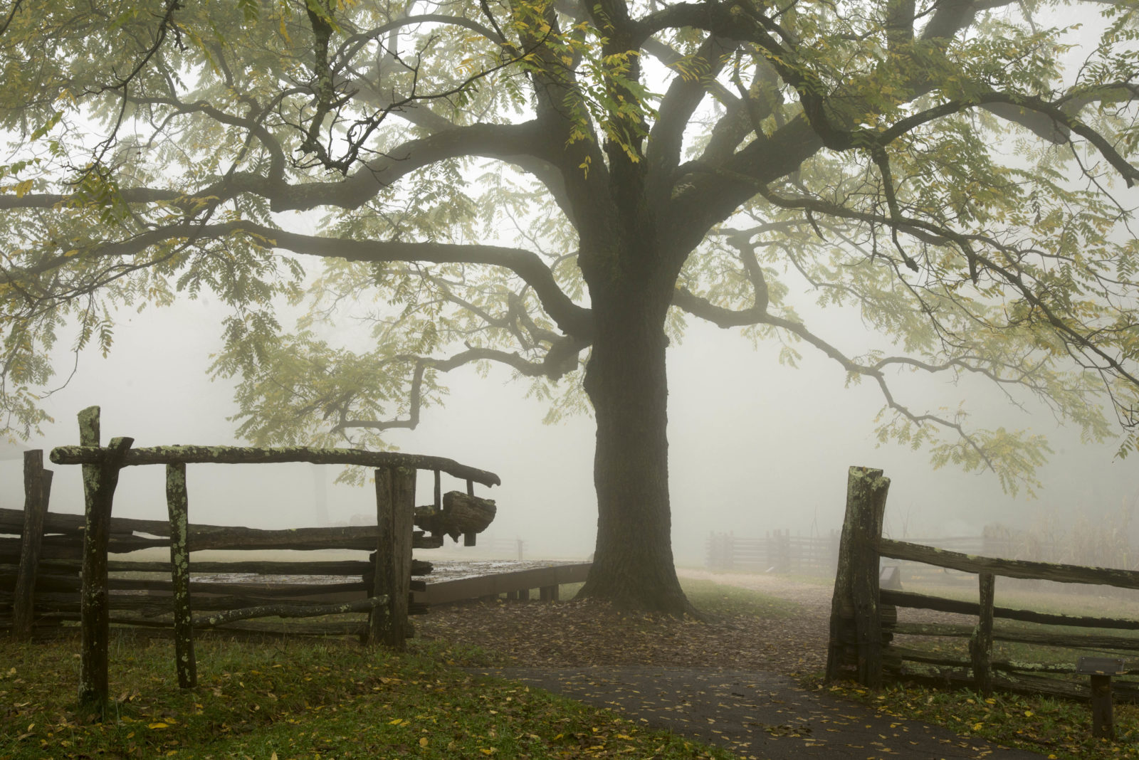 Walnut Tree in Mist