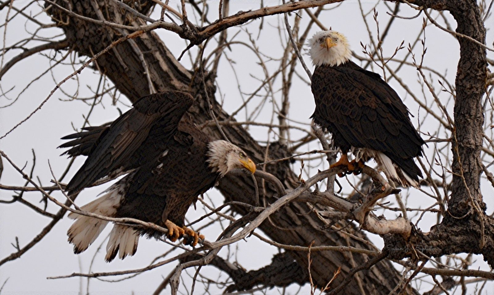 Eagle Pair In The Wind