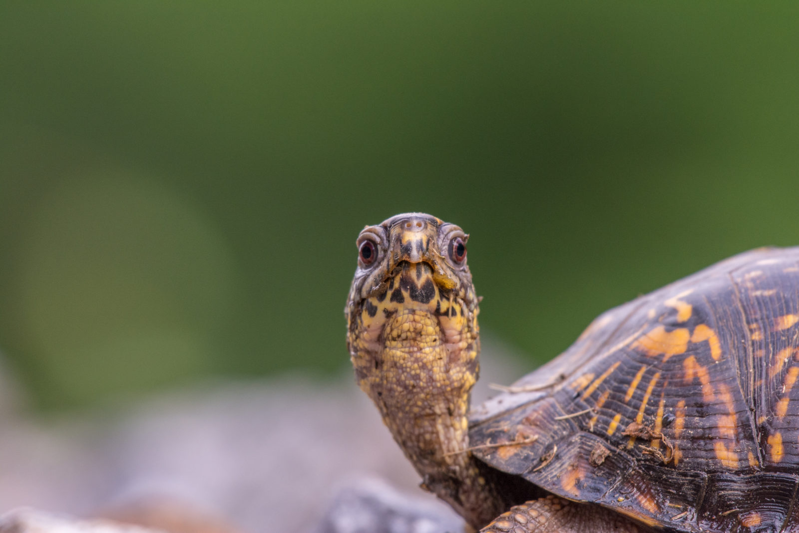 Eastern Box Turtle Searching for a Nesting Site