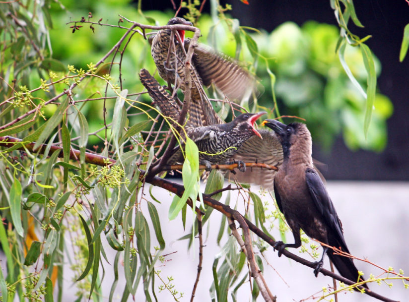 CROW FEEDING KOEL BABY