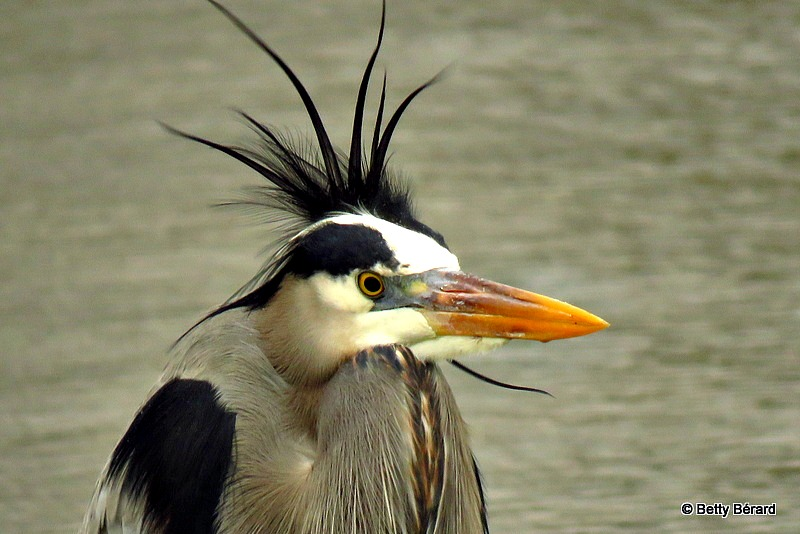 Great Blue Heron Bad Hair Day