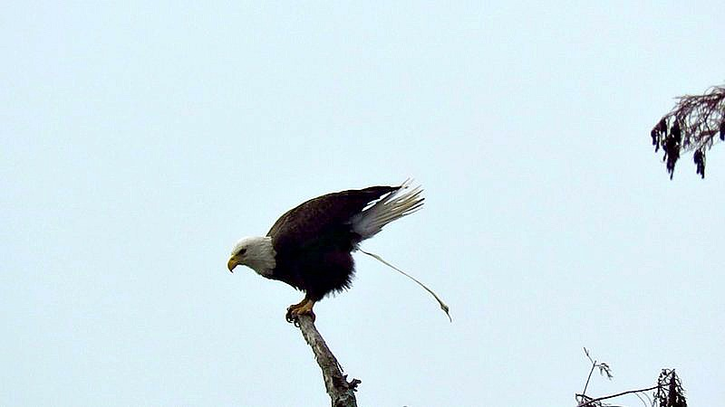 Pooping Bald Eagle