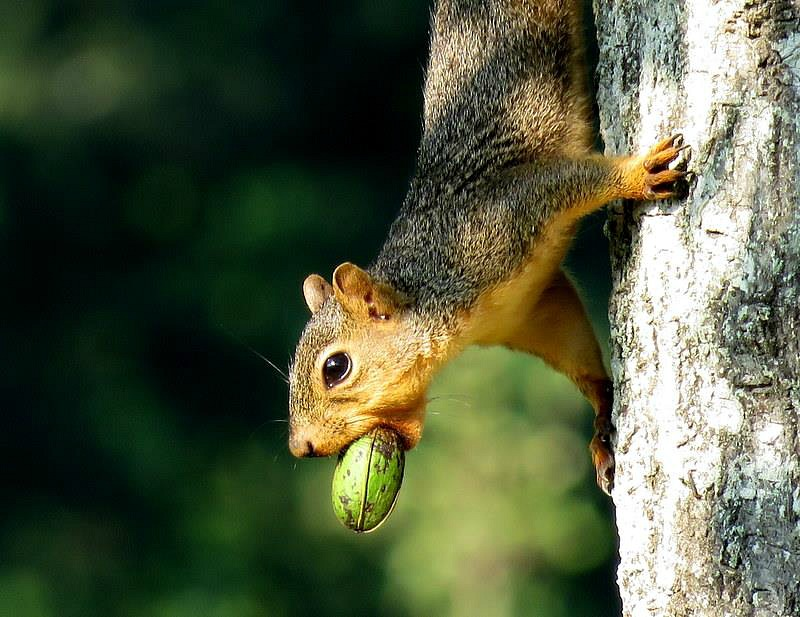 Squirrel with a Huge Pecan