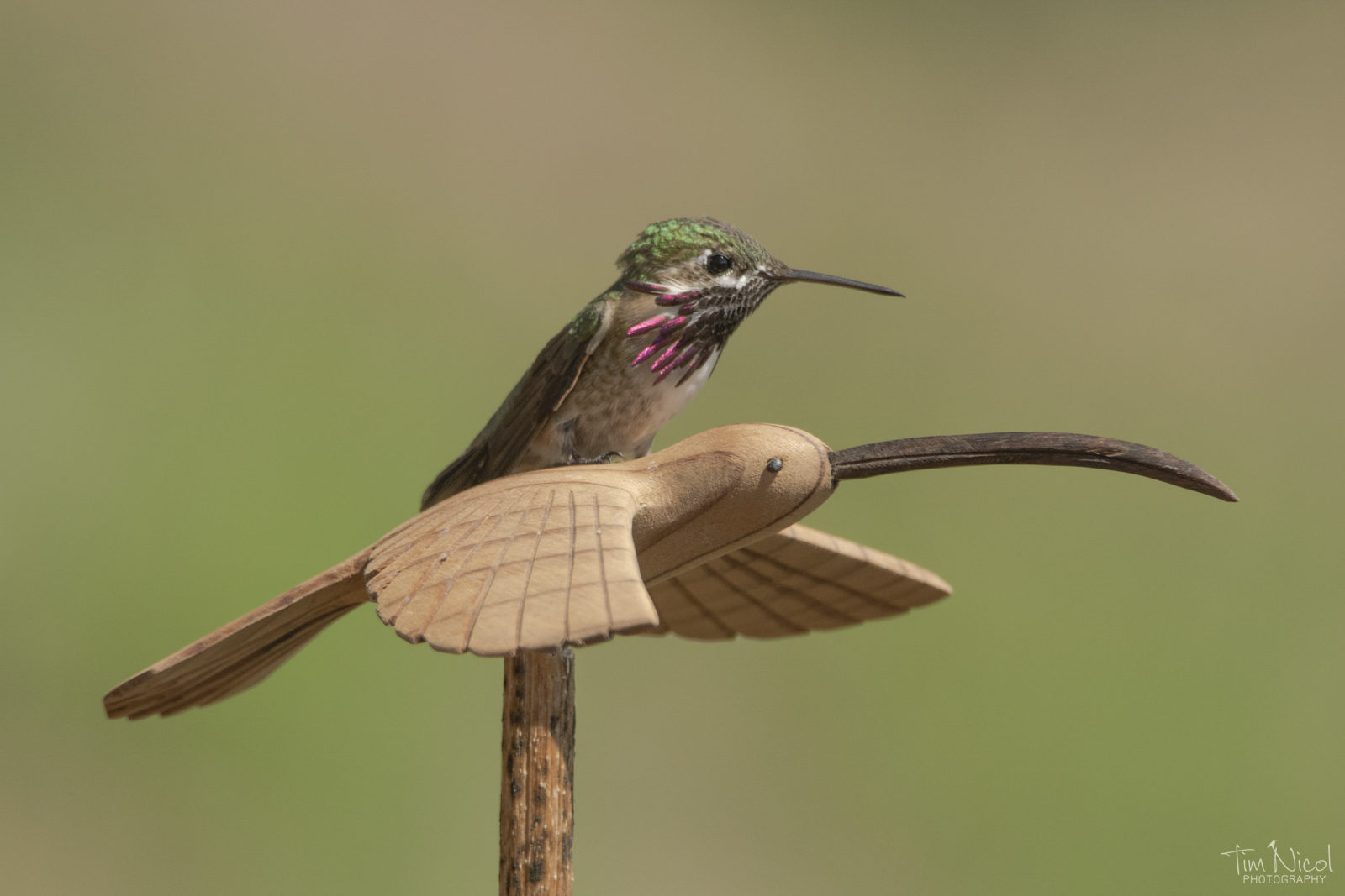 Hummingbird Jockey