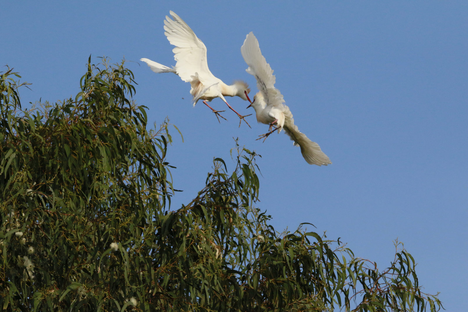 Cattle Egret Fighting For A Girl
