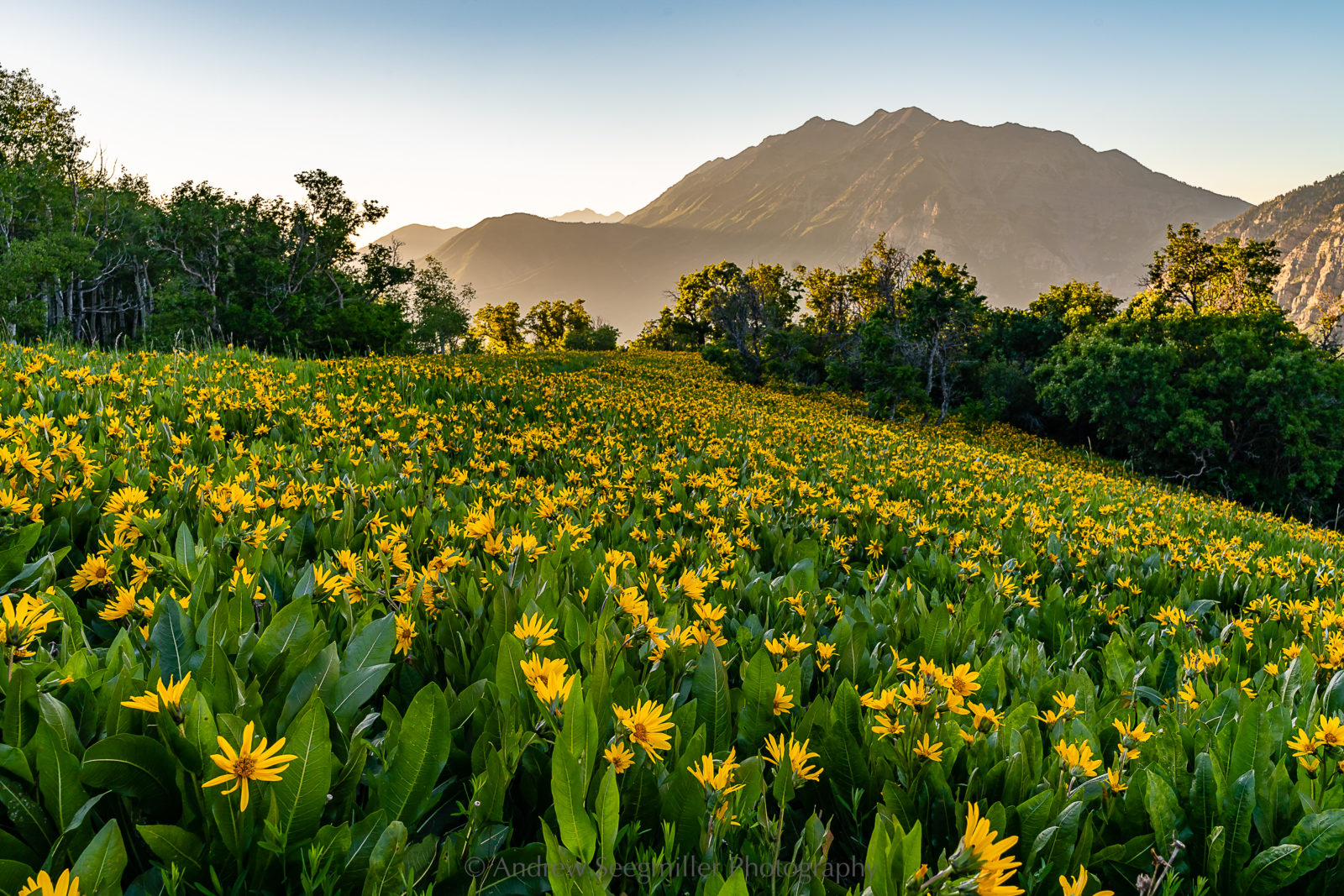 Wasatch Wildflowers