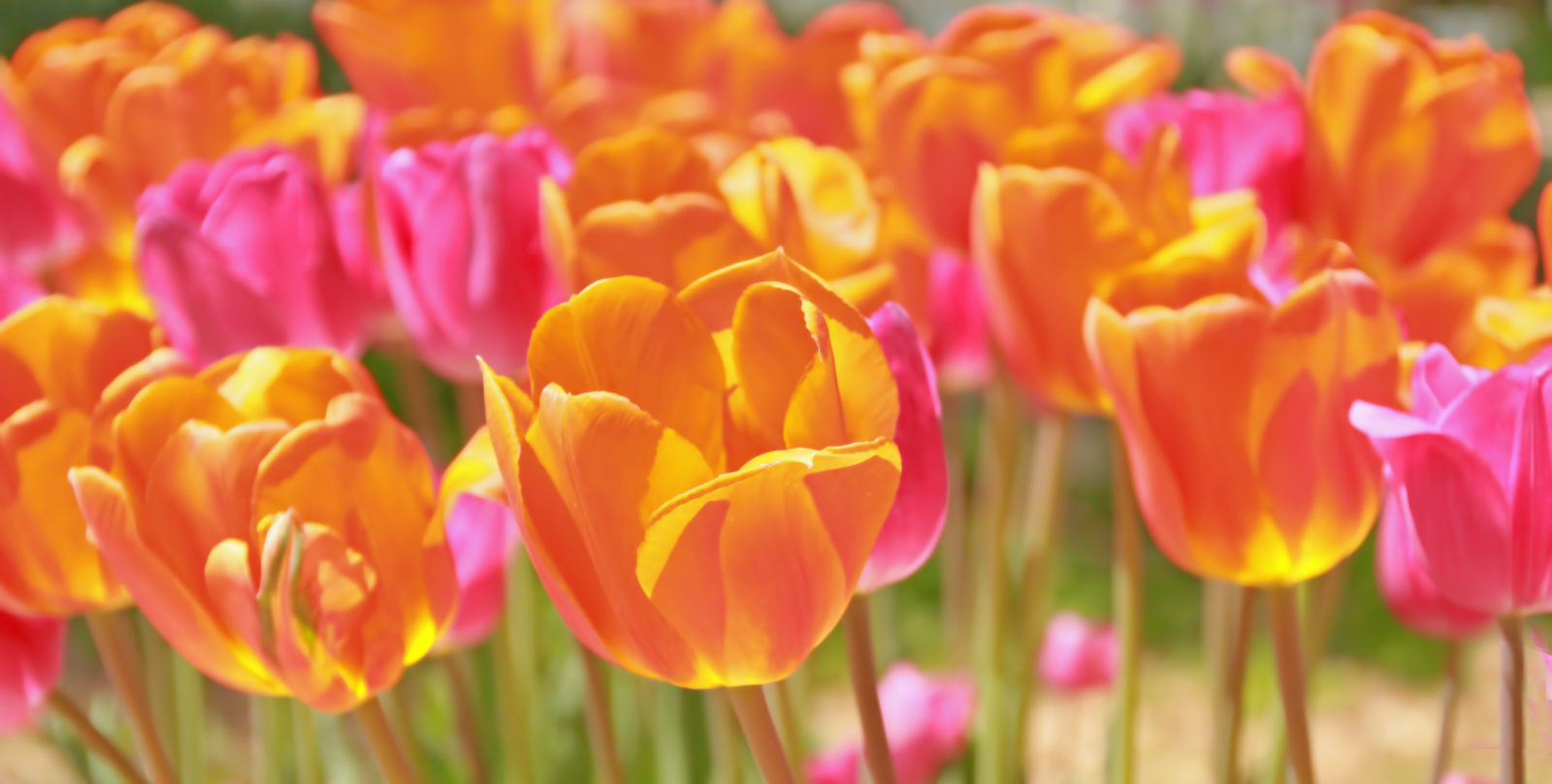 Tulips in Wamego