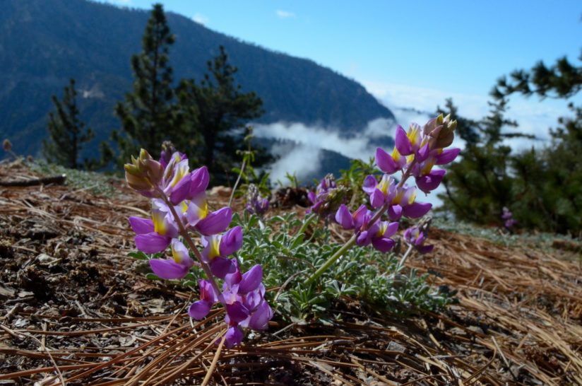 Angeles Crest Spring Bloom