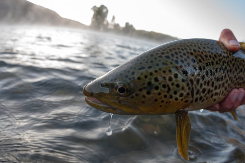Fisheye Portrait Of aA  Snake River Brown Trout