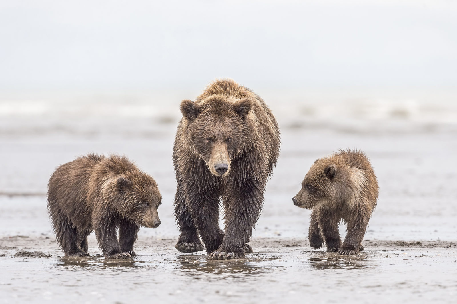 Sow and Cubs on Beach