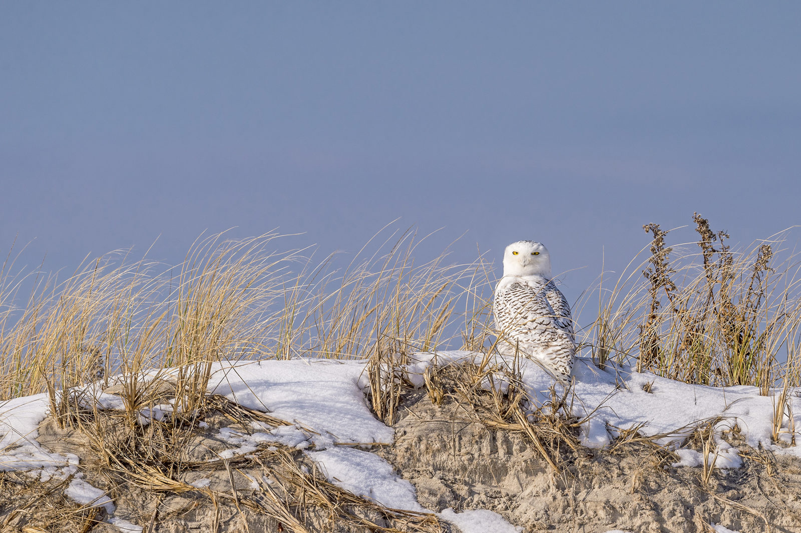 Snowy Owl Enjoying the Jersey Beach