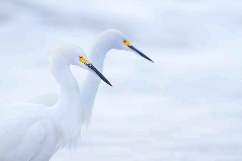 Snowy Egrets in the Waves