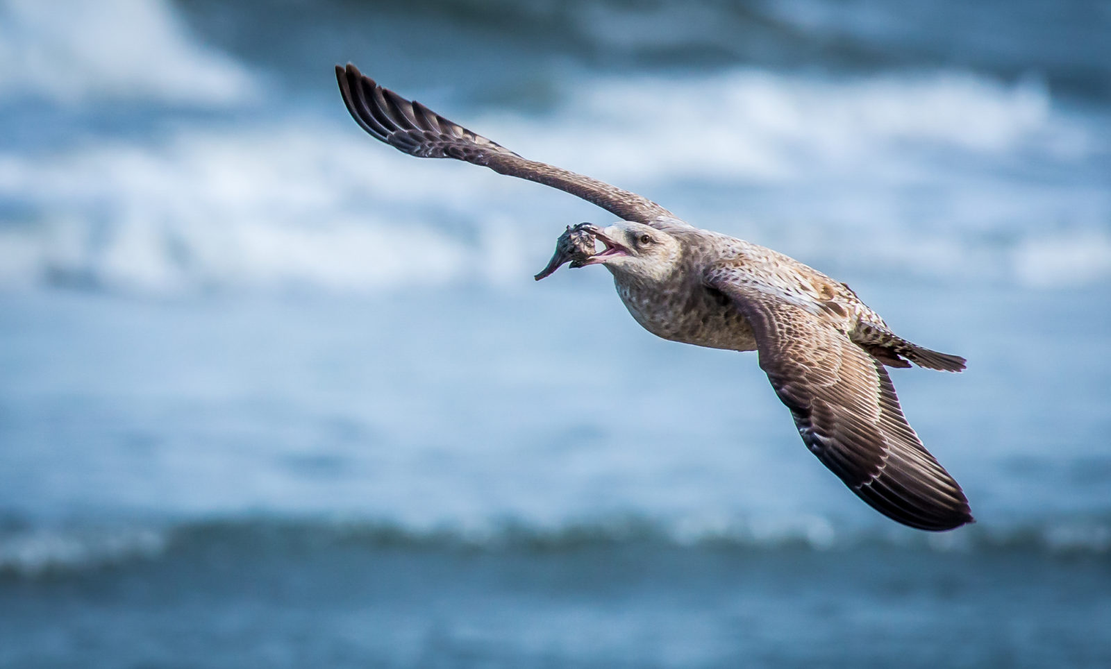 Flying Gull with Conch