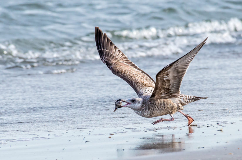 Sea Gull Running with Conch