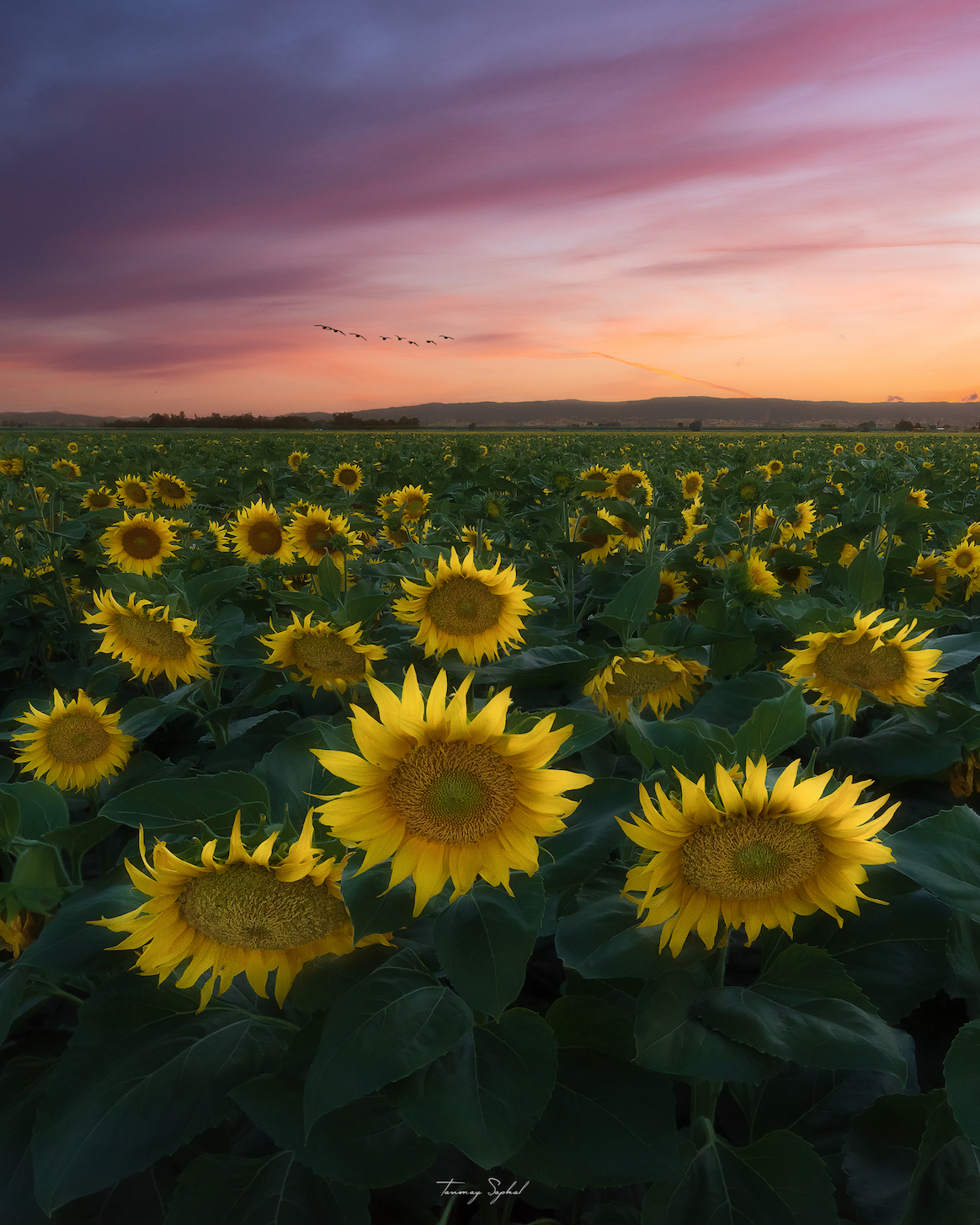Sun sets over a field of gold