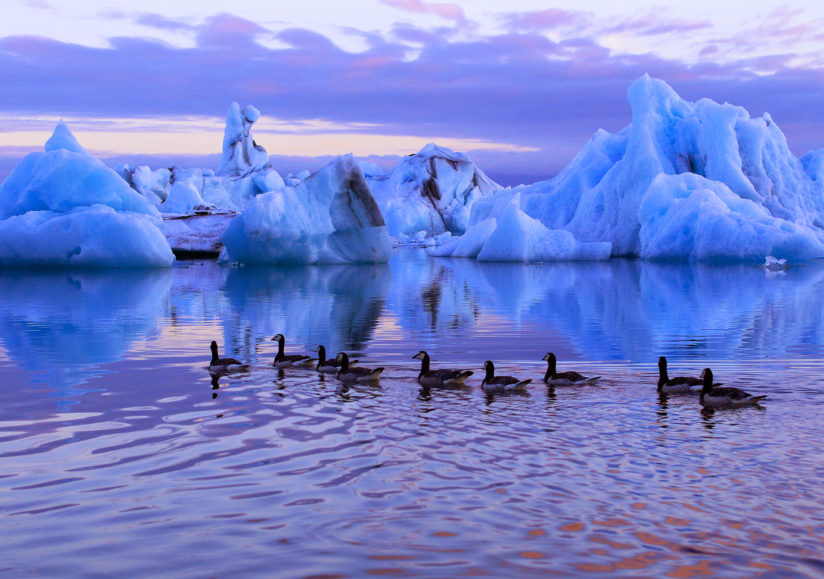 Ducks and icebergs at sunset