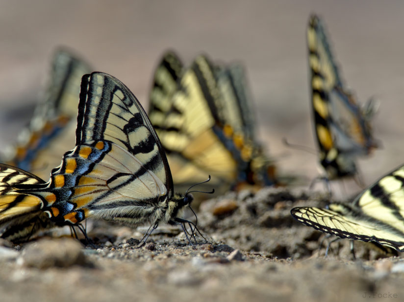 Gathering of Papilio rutulus Lucas