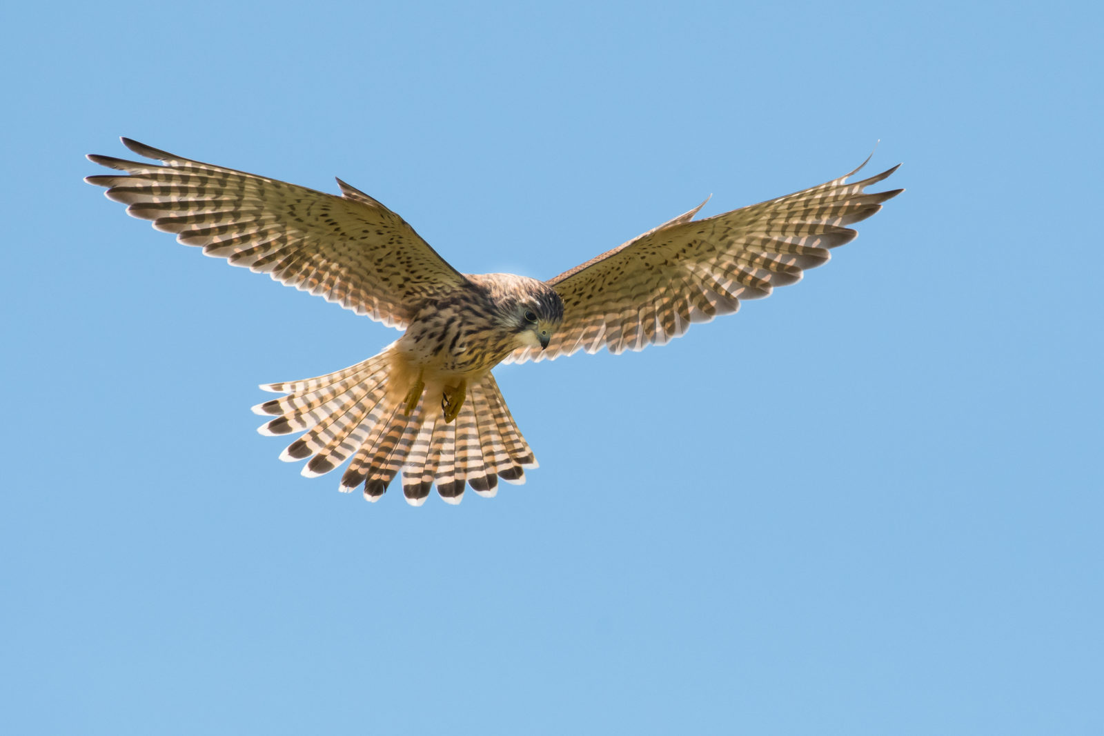 Kestrel hunting in the Midday sun