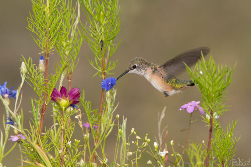 Hummingbird Dreamland