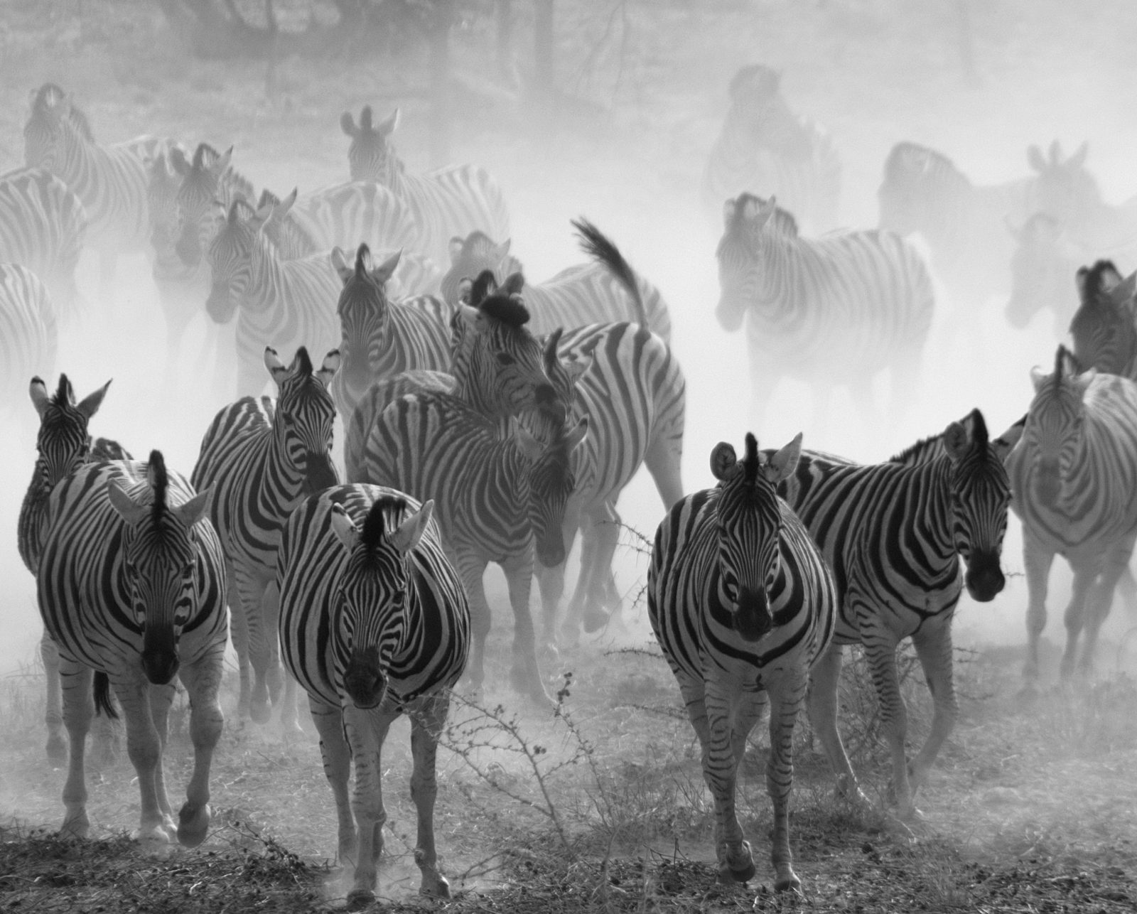 Fleeing Zebras