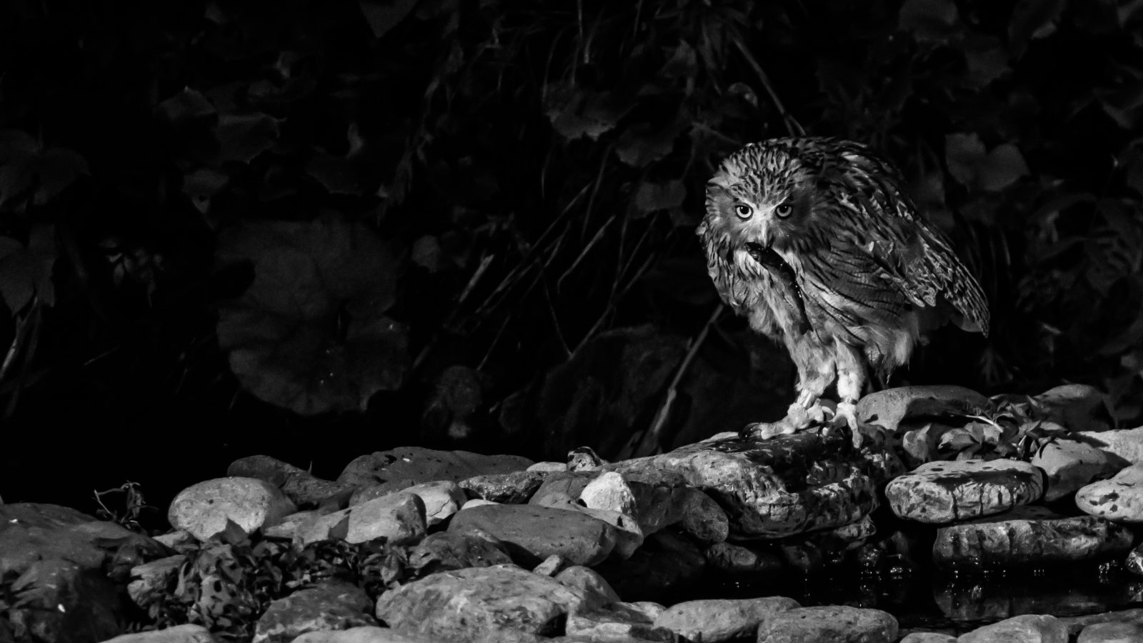 Blakiston's Fish Owl with Cherry Trout