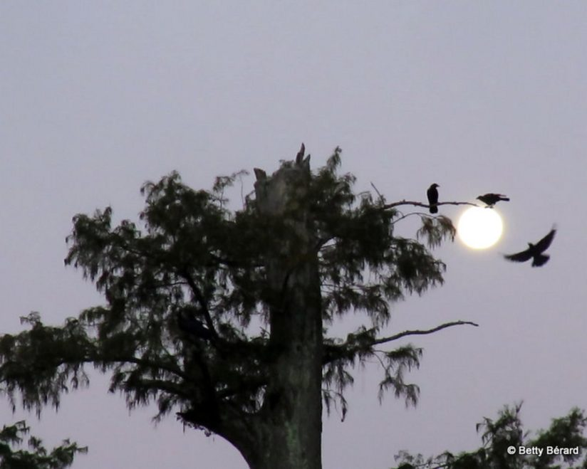 Full Moon Gathering of Crows