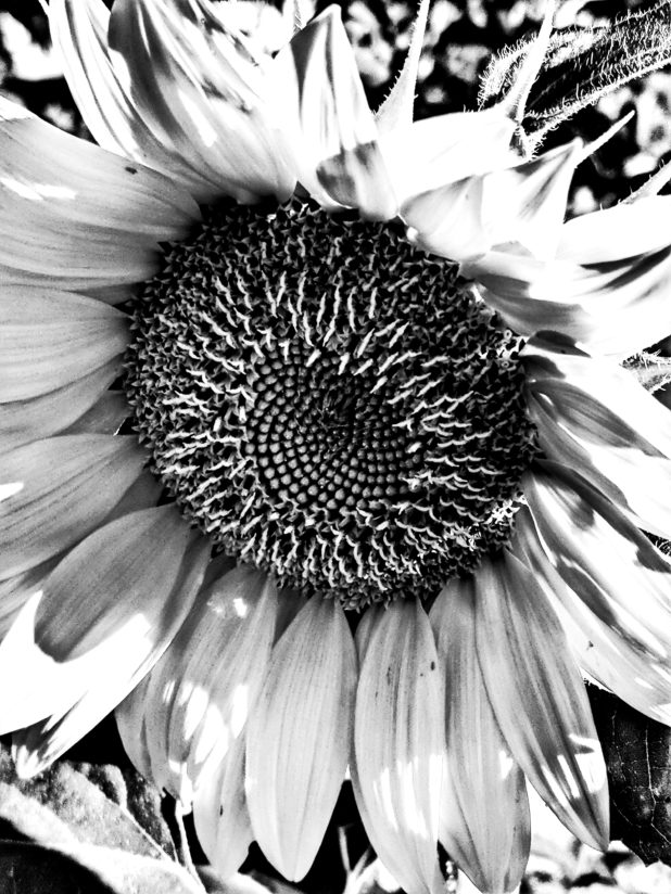 Monochrome sunflower