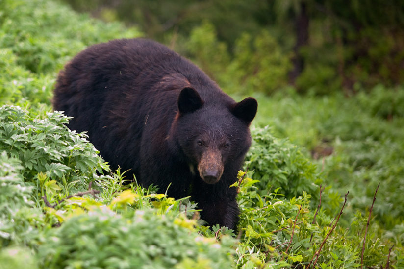 Foraging Black Bear